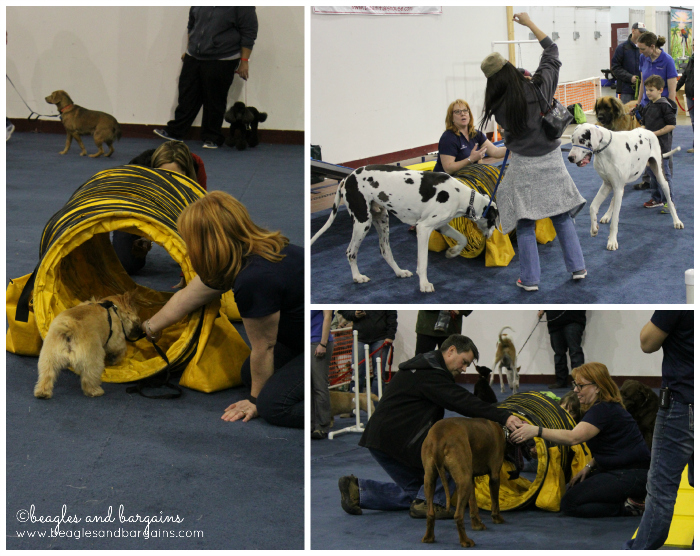 Luna's first agility course at the Super Pet Expo.