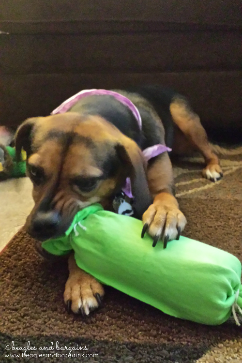 Luna enjoys her new DIY bottle dog toy.