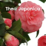 Thea Japonica