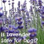 Is Lavender Safe for Dogs?