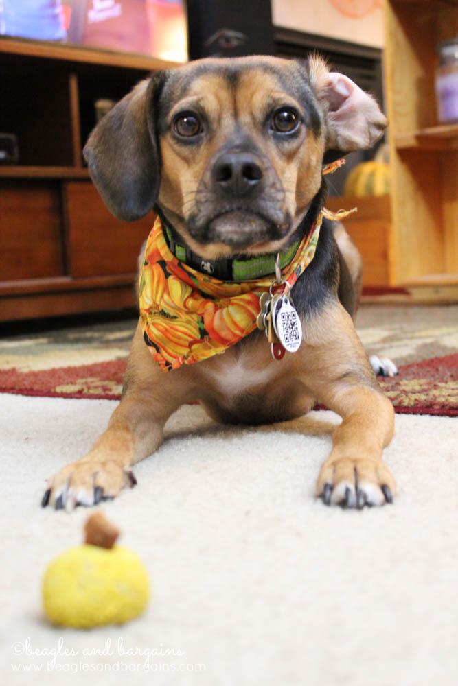 Luna loves Pumpkin Banana Cheddar Balls!
