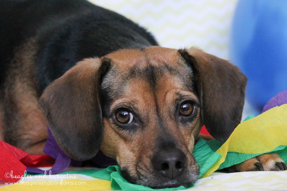 Beagles and Bargains' Blogiversary and Birthday Celebration!