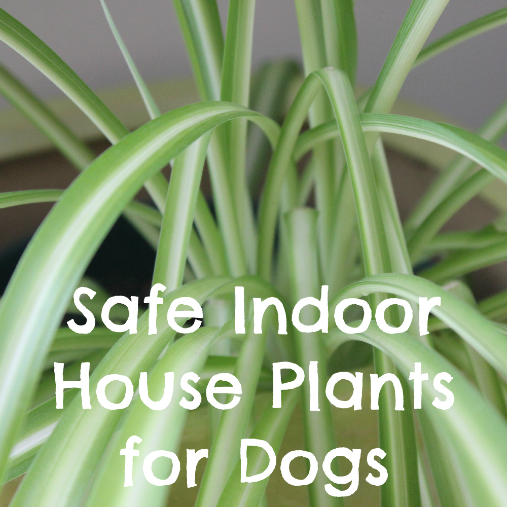 ... Indoor Plants That Are Non-Toxic to Dogs