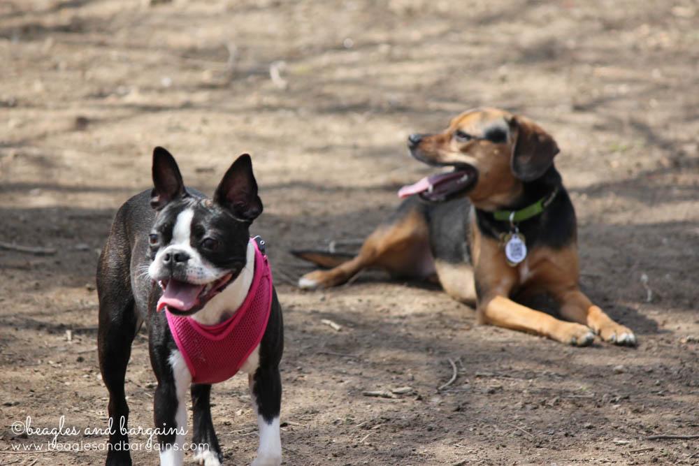 Luna makes a friend at Shirlington Dog Park