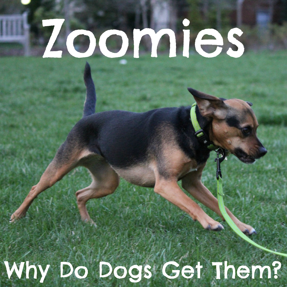 Zoomies: Why Do Dogs Get Them?