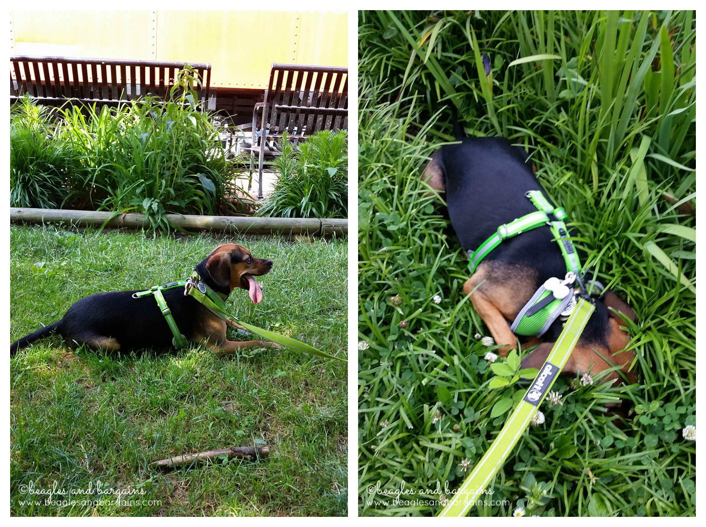 Luna cooled off in the grass along the W&OD Trail.