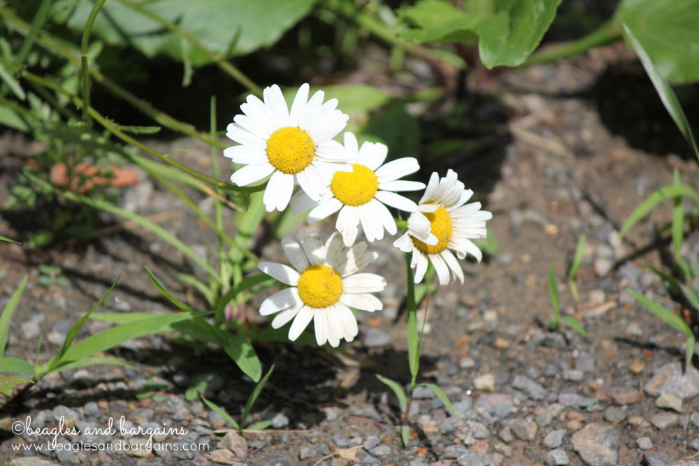 Wild daisies spotted on our walk