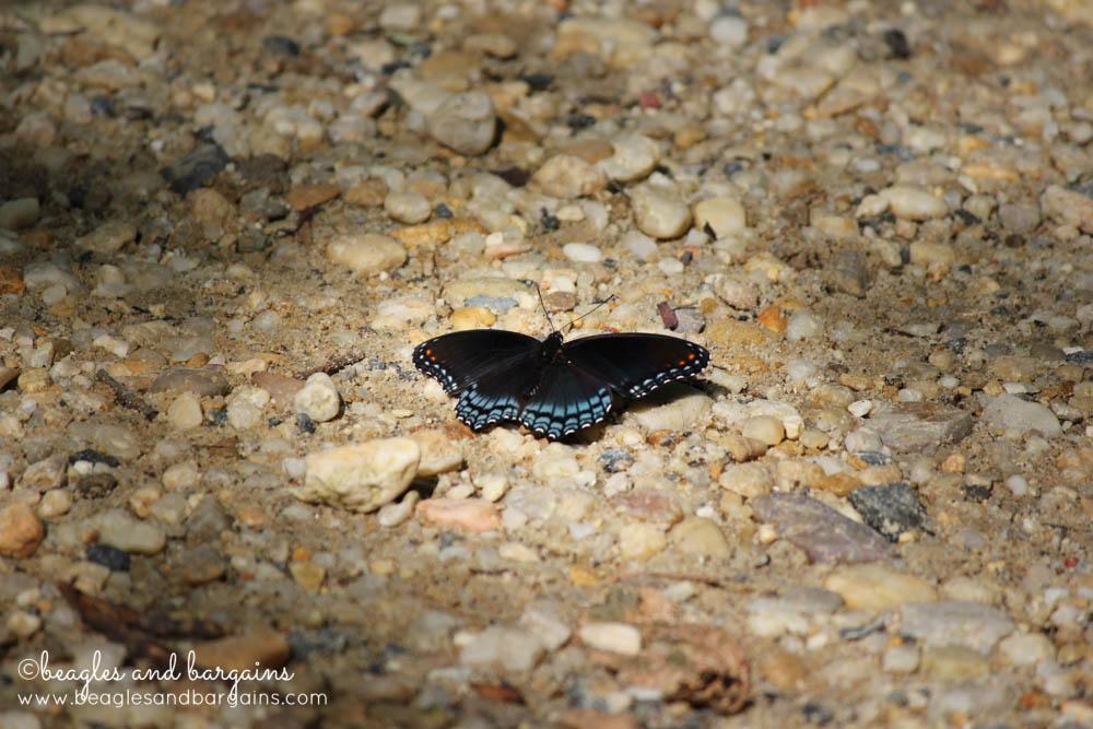 Beautiful butterfly seen in Great Falls, Virginia