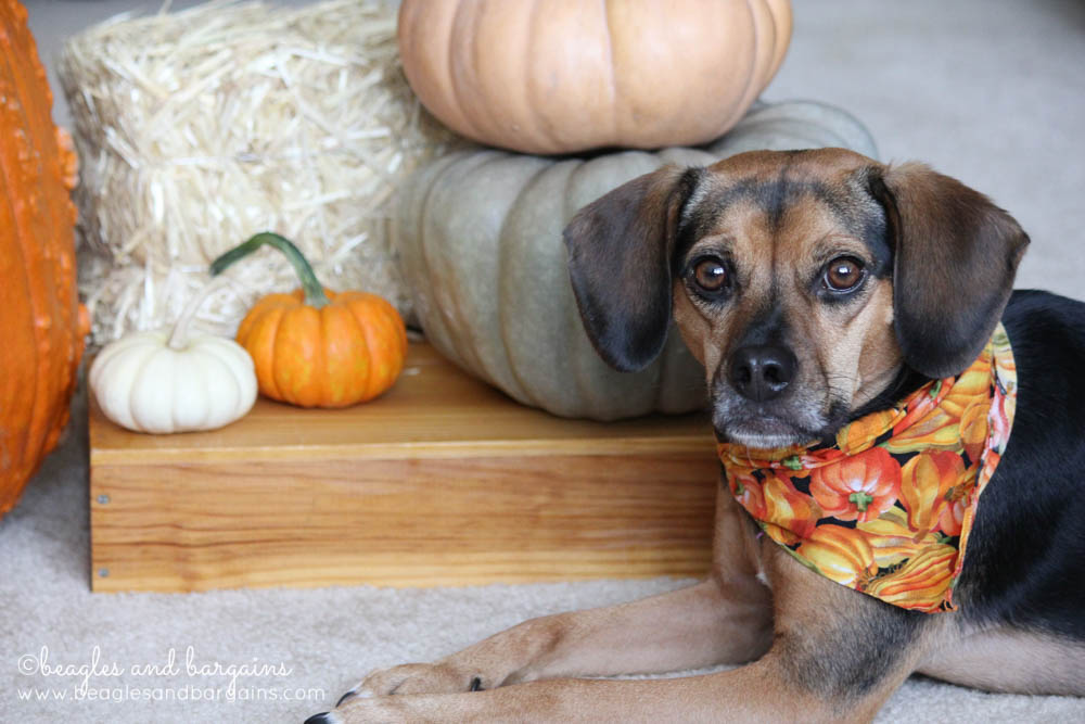 Luna loves pumpkin dog treats!