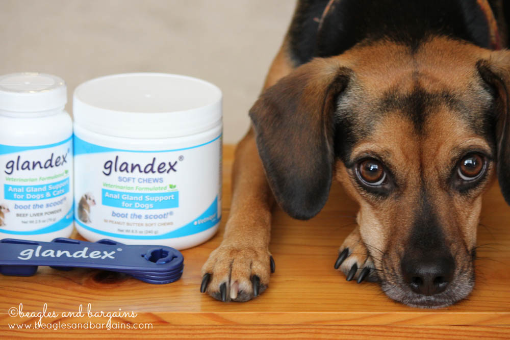Beagle expressing anal glands