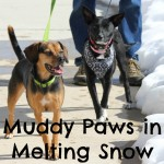 Muddy Paws in Melting Snow