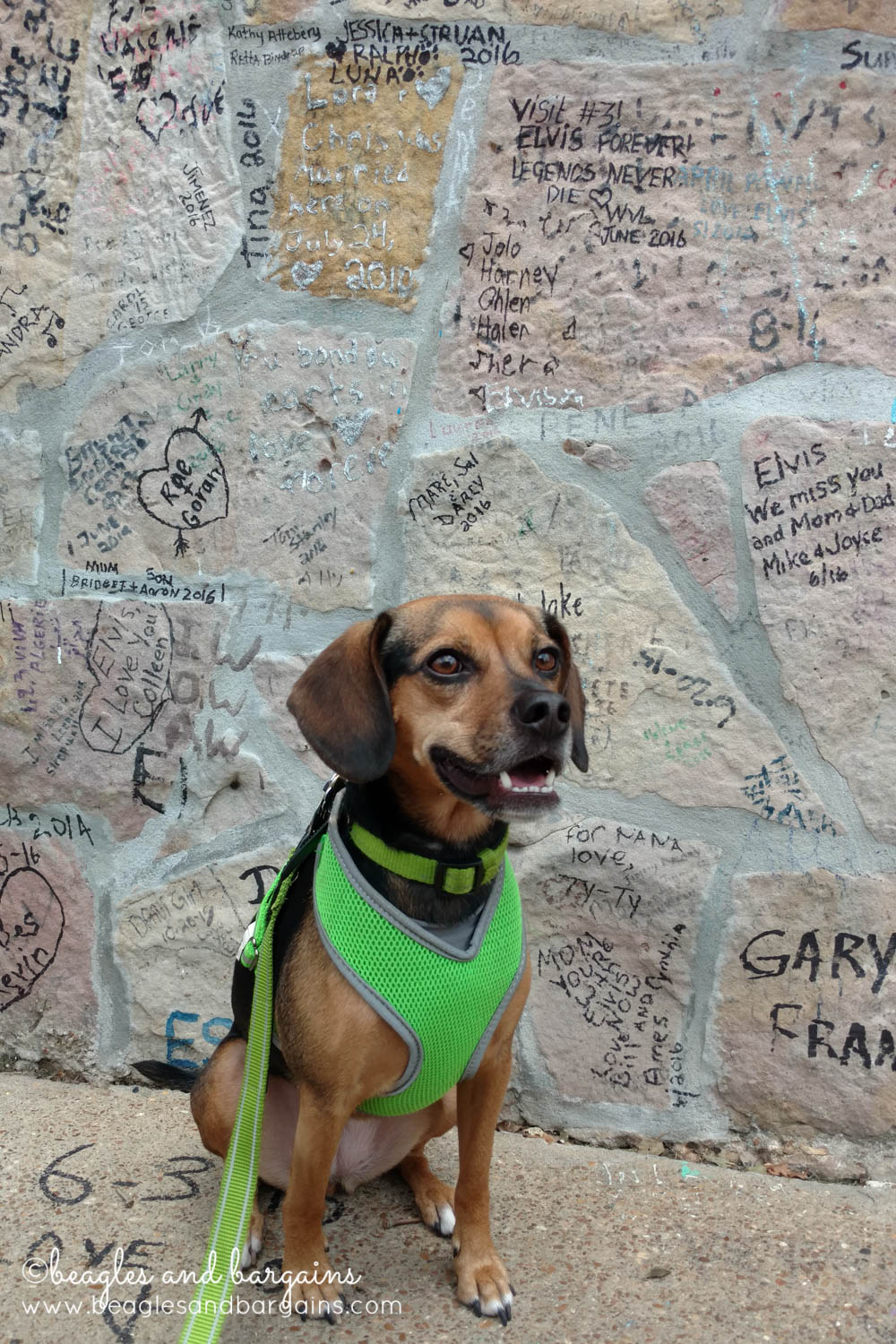 Luna at the wall outside of Elvis's Graceland - RoadTrippinBeagle