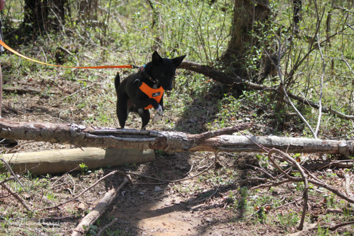 Ralph Jumping During a Dog Friendly Hiking at Blue Ridge Center for Environmental Stewardship