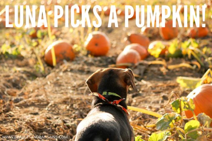Luna Picks a Pumpkin at Rock Creek Farm