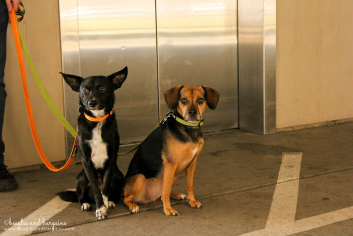 How to Teach Your Dog to Calmly Ride in an Elevator - Trick or Treat GIVEAWAY Hop