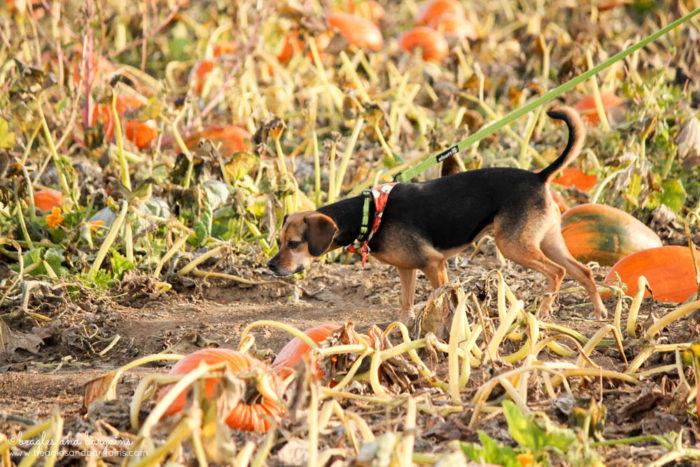 Luna searches the pumpkin selection at Rock Creek Farm.