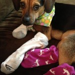 Wordless Wednesday: Luna Loves Socks