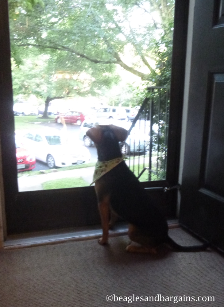 Luna watches the world go by in through our new storm door.