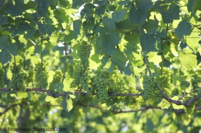 The grapes are growing at Barrel Oak Winery.