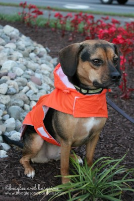 Luna's Just4MyPet Personalized Raincoat makes her stand out in bright orange.