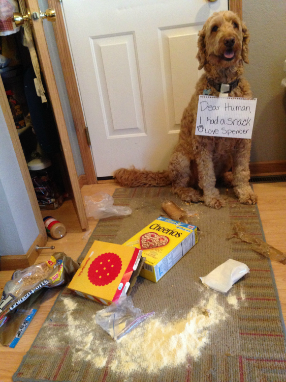 Messiest Pet Spencer the Goldendoodle gets himself a snack.