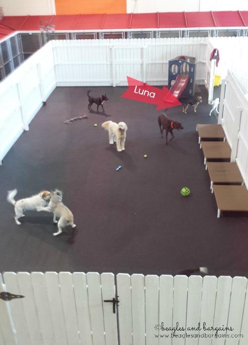 Luna runs around with new friends at Doggie Day Care