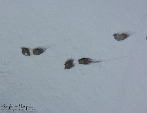 Paw prints in the snow! Who could those be from?