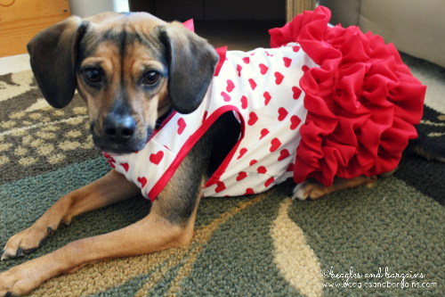 Luna is ready for Valentine's Day with her heart printed dress from Petco.