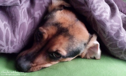 luna hides under the covers this morning from snow