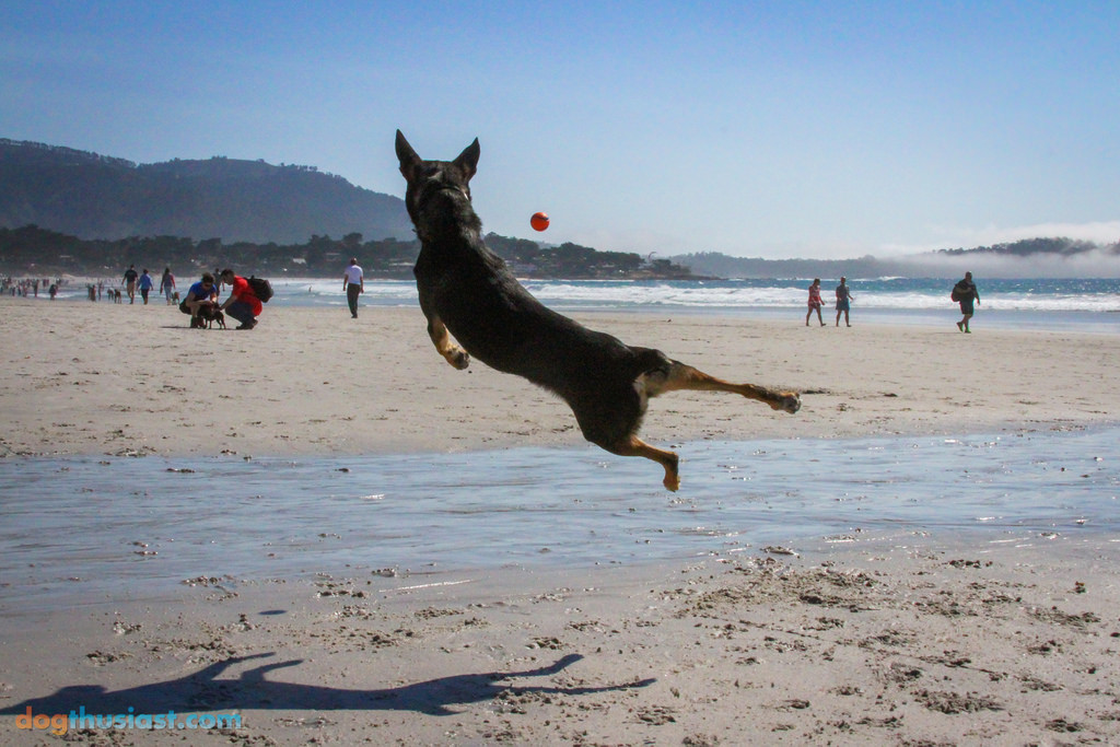 Mort from DOGthusiast loves playing ball! - Photo Courtesy of Jen deHaan