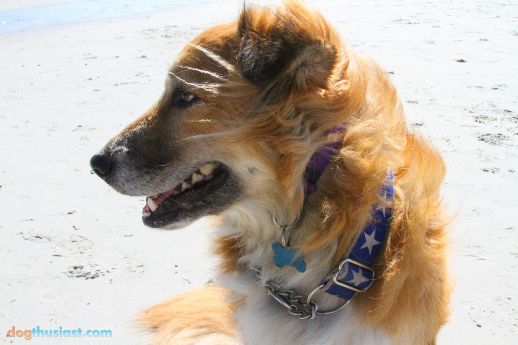 Tig models a bold star patterned collar from Stylish Canine - Photo Courtesy of Jen deHaan