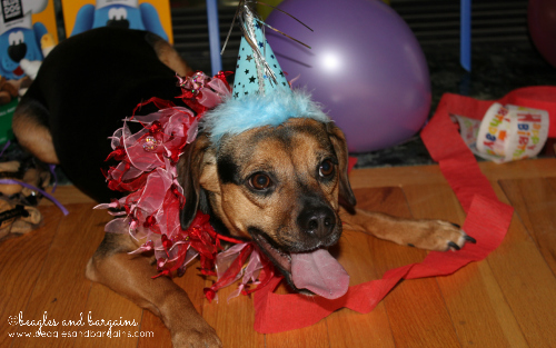 Luna is ready to party with Three Dog Bakery!