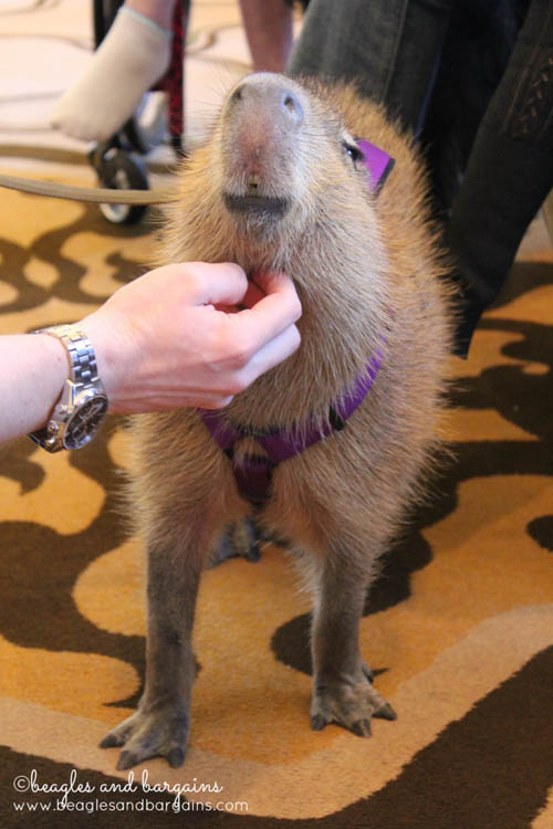 Capybara at BlogPaws 2014