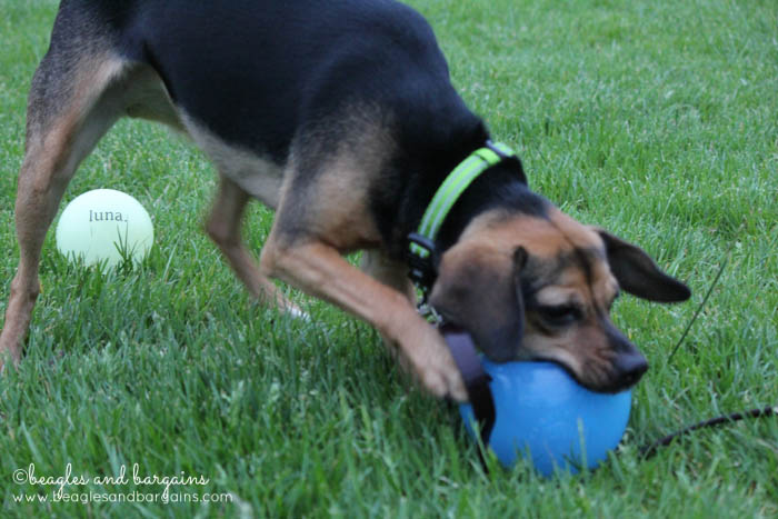 Luna plays with her Planet Dog Orbee-Tuff Snoop
