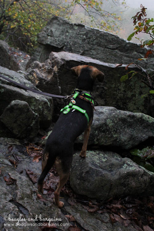 Luna checks out the view at Bears Den - Hiking in Northern Virginia