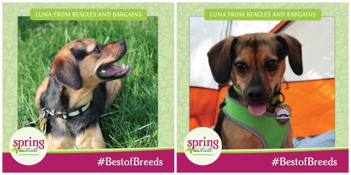 September's #bestofbreeds is Beagles at Spring Naturals