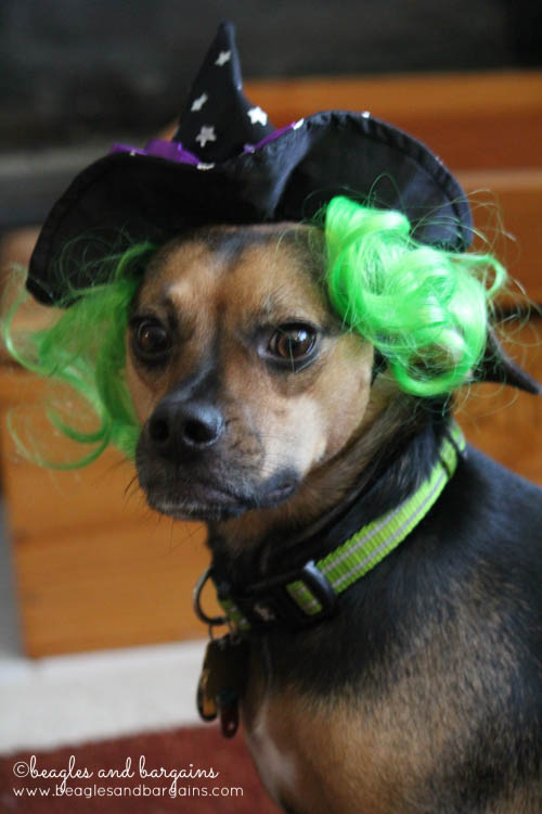 Luna dressed as a Witch for Halloween from Petco