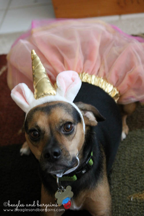 Luna dressed as a Unicorn for Halloween from Petco