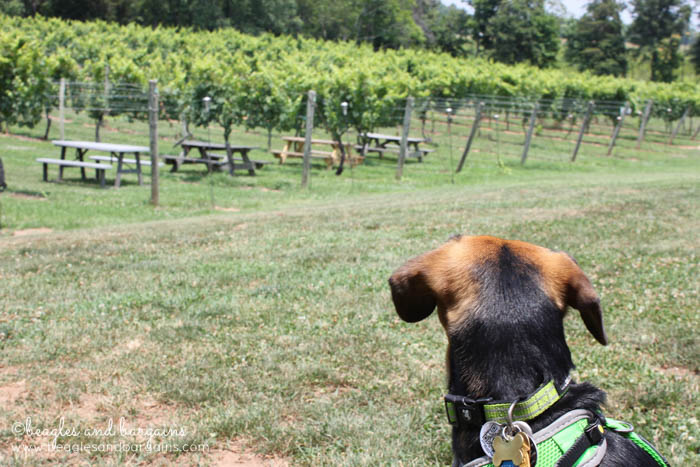 Luna hangs out at Lake Anna Winery