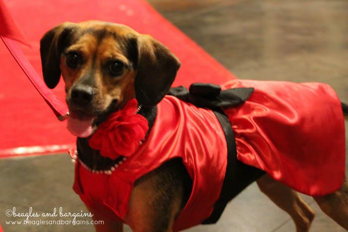 Luna walks the red carpet at Wigglebutts Go Hollywoof