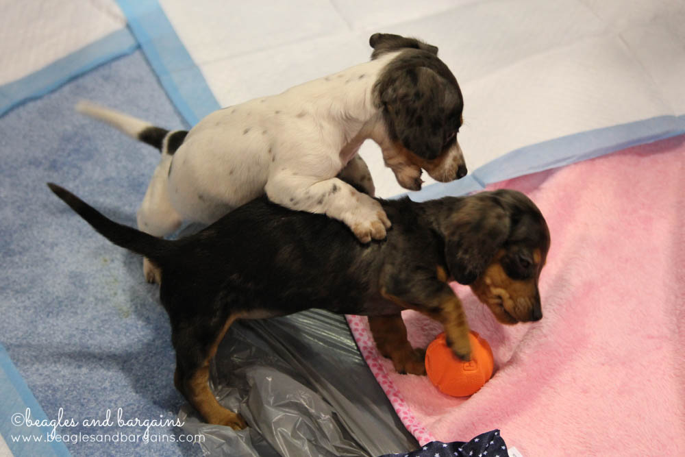 Dachshund Puppies at Global Pet Expo 2015