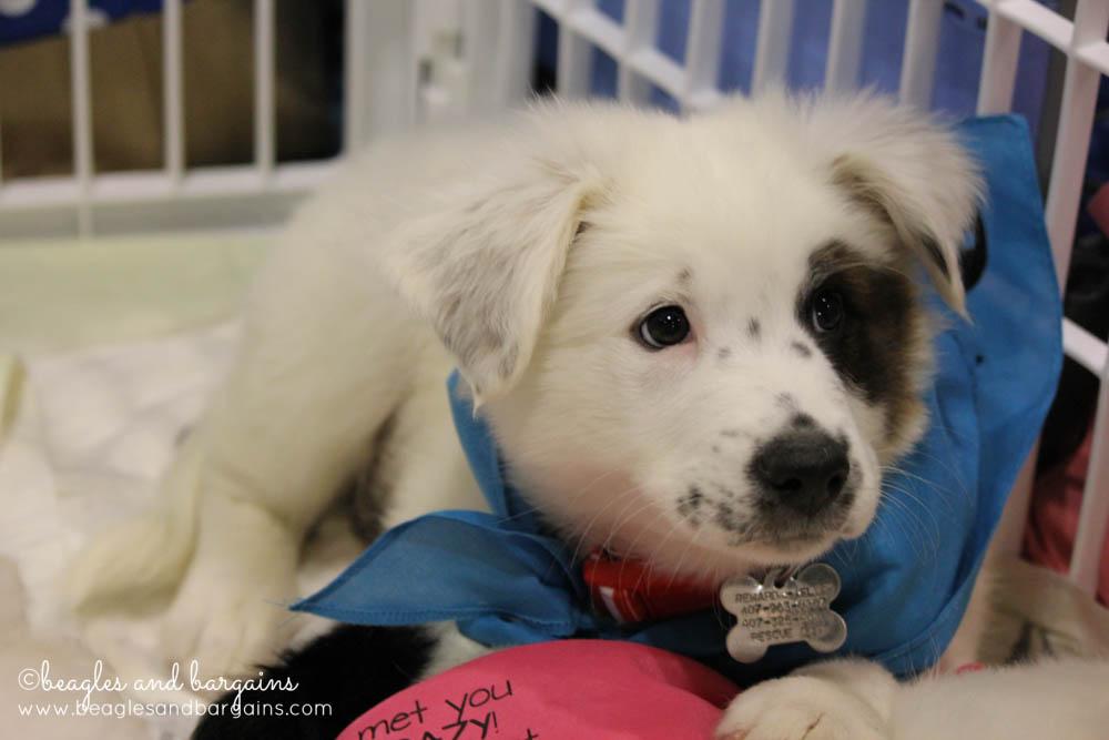 Adoptable Puppies at Global Pet Expo 2015