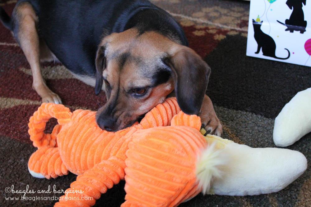 Luna plays with her new birthday toys - a monkey!