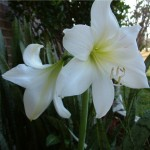 Amaryllis - Toxic to Dogs and Cats