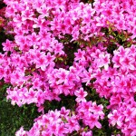 Azalea - Toxic to Dogs and Cats