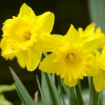 Daffodil - Toxic to Dogs and Cats