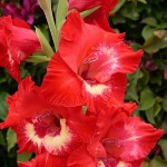 Gladiolus - Toxic to Dogs and Cats