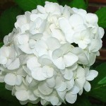 Hydrangea - Toxic to Dogs and Cats