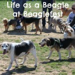 Life as a Beagle at Beaglefest