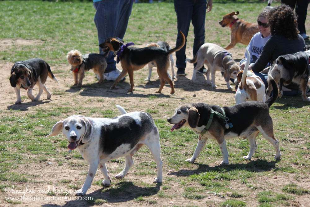 Tons of Beagles at BREW's Beaglefest